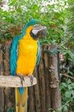 Красочное положение попугая ары Стоковое фото RF