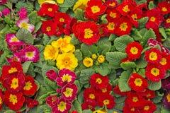 Красочное собрание заводов Primula Стоковое фото RF
