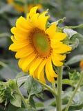 Красочное цветение солнцецвета Стоковые Изображения RF