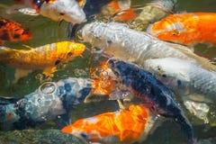 Красочное японское заплывание карпа в пруде пакета Стоковая Фотография RF