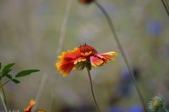 Красочное Blanketflower в поле Стоковое Изображение RF