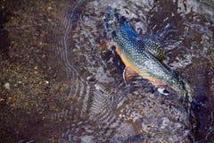 Красочные бои ручьевой форели на линии стоковая фотография rf