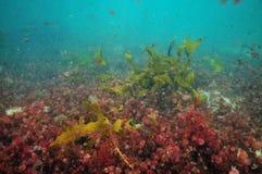 Красочные водоросли Тихого океана Стоковые Изображения