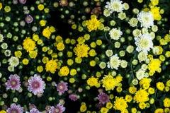 Красочные зацветая хризантемы с зеленой предпосылкой листьев Стоковые Фотографии RF