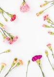 Красочные изолированные гвоздики Стоковая Фотография RF