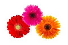 Красочные изолированные цветки gerbers стоковое изображение