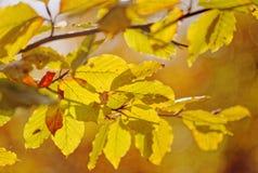 Красочные листья березы Стоковое Изображение