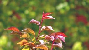 Красочные листья зеленого цвета на ветви дерева сток-видео