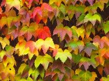 Красочные листья клена Стоковые Изображения RF