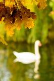 Красочные листья осени на береге озера иллюстрируют silh лебедя Стоковые Фотографии RF