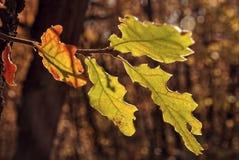 Красочные листья дуба в осени Стоковые Изображения RF