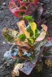 Красочные листья croton Стоковое Изображение RF