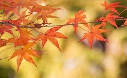 Красочные листья momiji клена на Korankei Стоковые Изображения RF