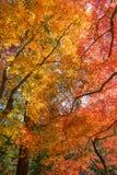 Красочные листья momiji клена на Korankei Стоковое Изображение RF