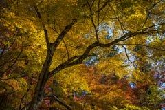 Красочные листья momiji клена на Korankei Стоковое фото RF