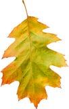 Красочные лист дуба Стоковые Изображения RF