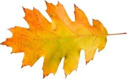 Красочные лист дуба Стоковые Изображения
