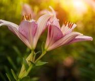 Красочные лилии на саде лета Стоковое Фото