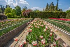 Красочные и variegated тюльпаны цветут в ботаническом саде виллы Таранта в Pallanza, Verbania, Италии Стоковое Изображение