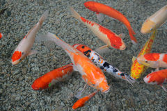 Красочные карпы Стоковое Фото