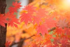 Красочные кленовые листы в осени для предпосылки для текста Стоковое Изображение RF