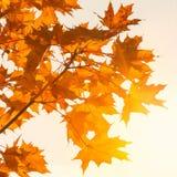 Красочные кленовые листы закрывают вверх на красивый солнечный день осени Ландшафт осени abstract background fall стоковое изображение
