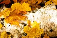 Красочные кленовые листы закрывают вверх на упаденном хоботе березы на красивый солнечный день осени Ландшафт осени Стоковые Фото