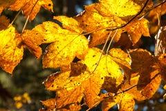 Красочные кленовые листы против солнечного света Стоковая Фотография
