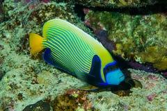 Красочные королевские рыбы Анджела на рифе Стоковая Фотография