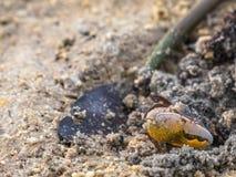 красочные крабы живя на пляже Стоковые Изображения