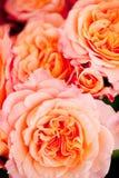 Красочные красивые розы цветут предпосылка карточки крупного плана макроса стоковое фото
