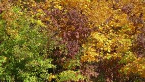 Красочные кусты с multy покрашенной сочной листвой в солнечном дне осени акции видеоматериалы