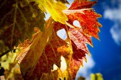 Красочные листья виноградины осени стоковое фото rf