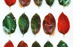 Красочные листья в строках на белой предпосылке стоковые фотографии rf