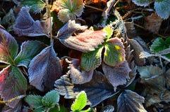 Красочные листья клубники осени заморожено Заморозок утра стоковое изображение