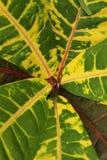 Красочные листья croton стоковая фотография