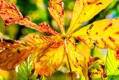 Красочные лист каштана в падении стоковая фотография