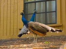 Красочные одомашниванные птицы на крыше Стоковое Изображение