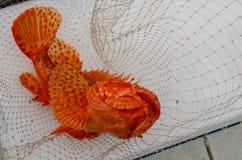 Красочные оранжевые уловленные рыбы Scorpaenidae стоковое фото