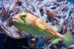 Красочные оранжевые putterfish blowfish желтого зеленого цвета стоковое изображение rf