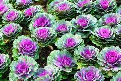 Красочные орнаментальные капусты Стоковые Изображения RF