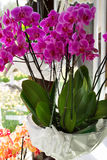 Красочные орхидеи в цветочных горшках на выставке цветов Стоковые Фото