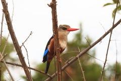 Красочные остатки kingfisher на дереве Meru, Кения стоковое изображение