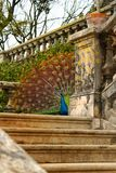 Красочные павлины в саде стоковое изображение rf