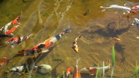 Красочные рыбы в пруде видеоматериал