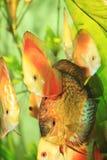 Красочные рыбы диска стоковое изображение rf