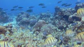 Красочные рыбы и кораллы видеоматериал