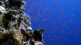 Красочные рыбы на живом коралловом рифе и водолазе Красное Море Египет сток-видео