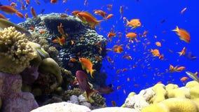 Красочные рыбы на живом коралловом рифе видеоматериал