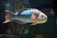 Красочные рыбы попугая Стоковое Изображение